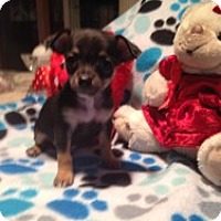 Adopt A Pet :: Baby Elvis - Marlton, NJ