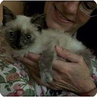 Adopt A Pet :: Siimone - Reston, VA