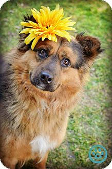Collie/Shepherd (Unknown Type) Mix Dog for adoption in Kimberton, Pennsylvania - Lily