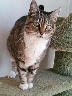 Domestic Shorthair Cat for adoption in Asheville, North Carolina - Lexi
