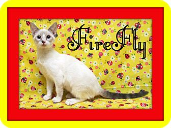 Siamese Kitten for adoption in Tracy, California - FireFly