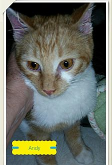 Domestic Shorthair Cat for adoption in MADISON, Ohio - Andy