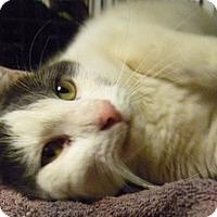 Adopt A Pet :: Fluffy Face - Hamburg, NY