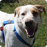 Adopt A Pet :: Henry - Henderson, NV
