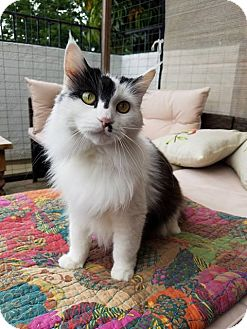 Maine Coon Cat for adoption in Los Angeles, California - Nayna