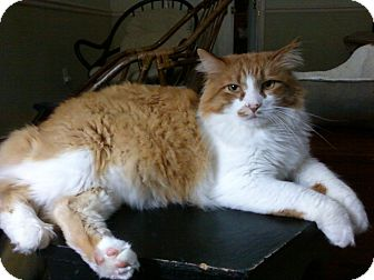 Maine Coon Cat for adoption in Little Rock, Arkansas - Puddin'