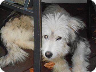 Bearded Collie/Sheltie, Shetland Sheepdog Mix Dog for adoption in Raleigh, North Carolina - Kira & KyLee-bonded