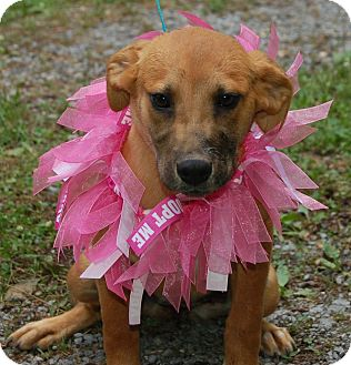 Labrador Retriever/Shepherd (Unknown Type) Mix Puppy for adoption in Spring Valley, New York - Abby