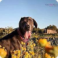 Adopt A Pet :: PAWLOMA PAWCASSO (Lady) - Albuquerque, NM