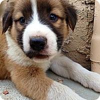 Adopt A Pet :: BRUNO - Inglewood, CA