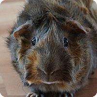 Adopt A Pet :: Coco - Brooklyn Park, MN