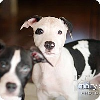Adopt A Pet :: Smalls - Clarksburg, MD