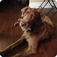 Adopt A Pet :: August labradoodle - Cornwall, ON