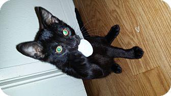 Domestic Mediumhair Kitten for adoption in Monrovia, California - Rocket