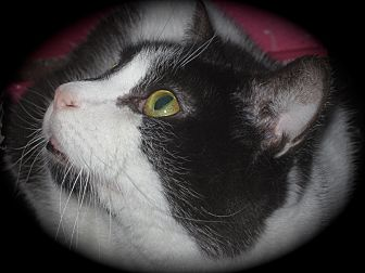 Domestic Shorthair Cat for adoption in Newtown, Connecticut - Pearl