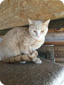 Domestic Shorthair Cat for adoption in Sanford, Maine - Troy