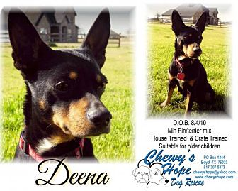 Miniature Pinscher/Rat Terrier Mix Dog for adoption in Boyd, Texas - Deena