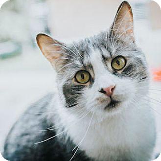 Domestic Shorthair Cat for adoption in Verdun, Quebec - Zeus
