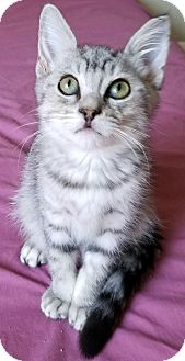 Domestic Mediumhair Kitten for adoption in Monrovia, California - Lyle