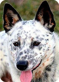 Blue Heeler Dog for adoption in Wakefield, Rhode Island - ECHO(WOW!! GORGEOUS--SO SMART!