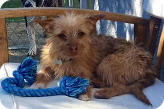 Silky Terrier Mix Puppy for adoption in Los Angeles, California - Muppet