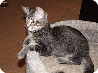 Domestic Shorthair Kitten for adoption in Scottsdale, Arizona - One-of-a-kind Bree