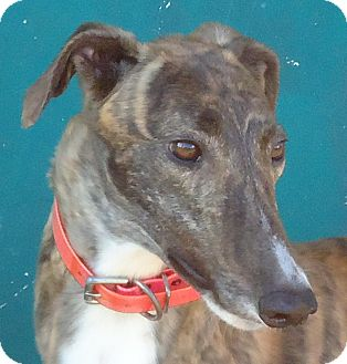 Greyhound Dog for adoption in Longwood, Florida - Mulberry Cupid