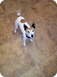 Jack Russell Terrier Dog for adoption in Scottsdale, Arizona - LUCY III