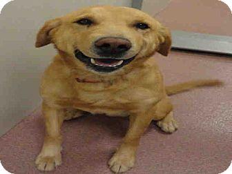 Golden Retriever Mix Dog for adoption in Ogden, Utah - Smith