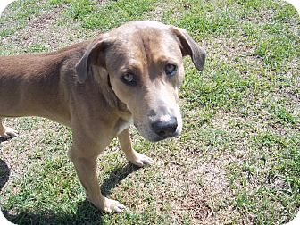 German Shorthaired Pointer Mix Dog for adoption in Tampa, Florida - Duke