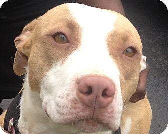 American Staffordshire Terrier/Cattle Dog Mix Dog for adoption in Snohomish, Washington - Jasmine Junior Princess