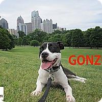 Adopt A Pet :: Gonzo - Alpharetta, GA