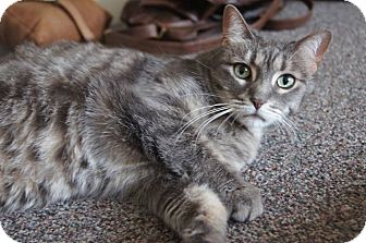 Domestic Mediumhair Cat for adoption in St. Catharines, Ontario - Lily