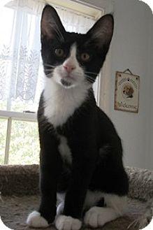 Domestic Shorthair Kitten for adoption in Lebanon, Pennsylvania - Bernie