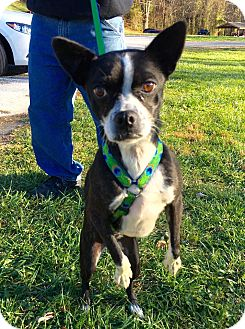 Boston Terrier Mix Dog for adoption in WESTMINSTER, Maryland - Beastie