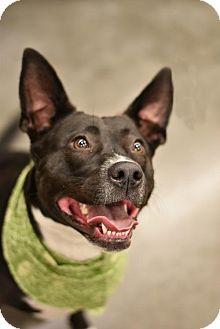 Labrador Retriever/Cattle Dog Mix Dog for adoption in Frisco, Texas - Lexi