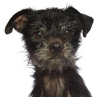 Terrier (Unknown Type, Medium)/Yorkie, Yorkshire Terrier Mix Dog for adoption in oakland park, Florida - Little Man
