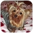 Photo 1 - Yorkie, Yorkshire Terrier Dog for adoption in Tallahassee, Florida - Cricket