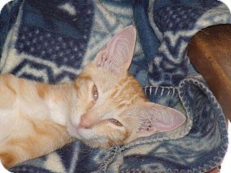 Domestic Shorthair Kitten for adoption in Scottsdale, Arizona - Beverly's Kittens