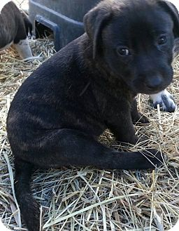 German Shorthaired Pointer/Border Collie Mix Puppy for adoption in Linton, Indiana - Cailin
