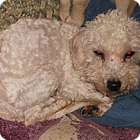Adopt A Pet :: Poodle - Aloha, OR
