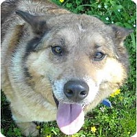 Adopt A Pet :: Jessie- Shiba Inu - Charleston, AR