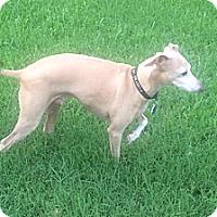 Adopt A Pet :: Apollo in DFW Area - Argyle, TX
