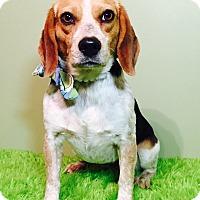 Adopt A Pet :: Danni - Russellville, KY
