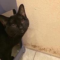 Domestic Shorthair Cat for adoption in New York, New York - Dakota