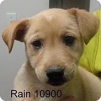 Adopt A Pet :: Rain - baltimore, MD