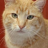 Domestic Shorthair Cat for adoption in Savannah, Missouri - Tawny
