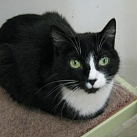 Domestic Shorthair Cat for adoption in Columbus, Ohio - Pearl