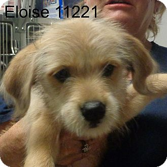 Golden Retriever/Dachshund Mix Puppy for adoption in Greencastle, North Carolina - Eloise