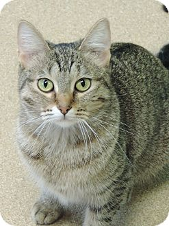 Domestic Shorthair Cat for adoption in Brookings, South Dakota - Manolo